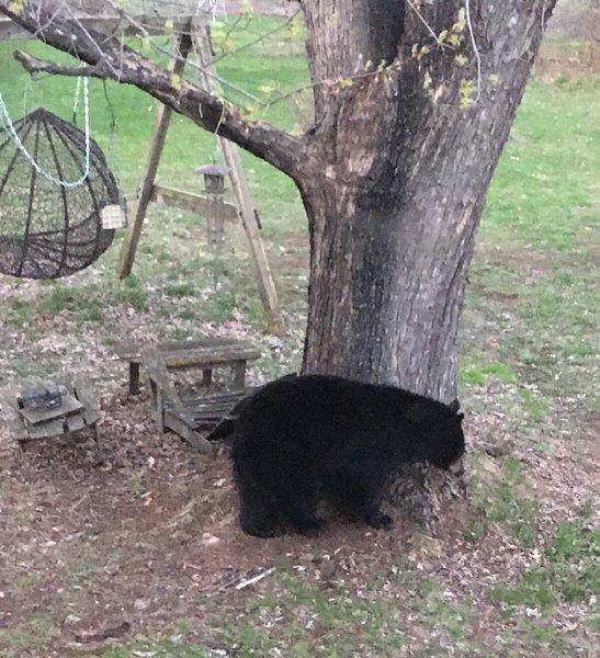 Bear_Apr 29-20_03.jpg