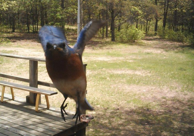 Blue Bird_01.jpg