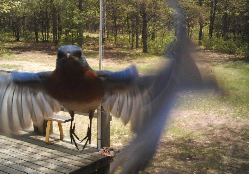 Blue Bird_02.jpg