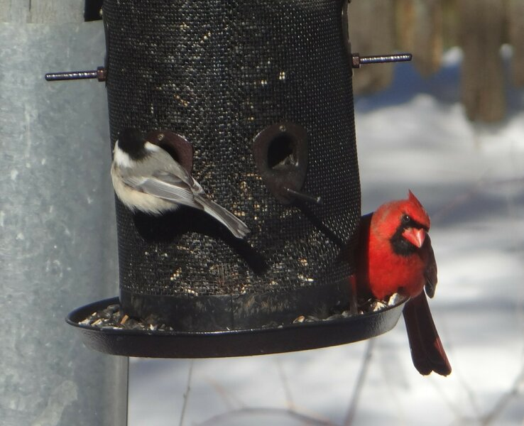 Male Cardinal_04.jpg