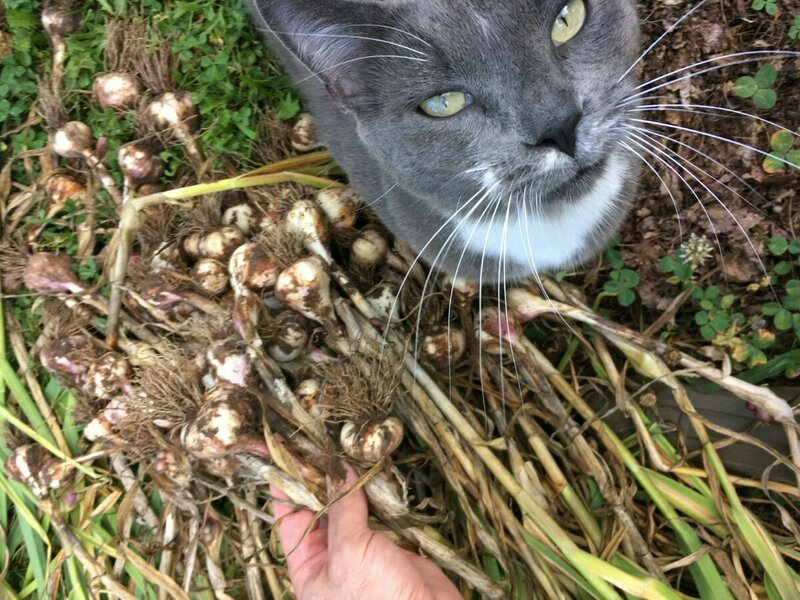 Pippin Garlic.jpg