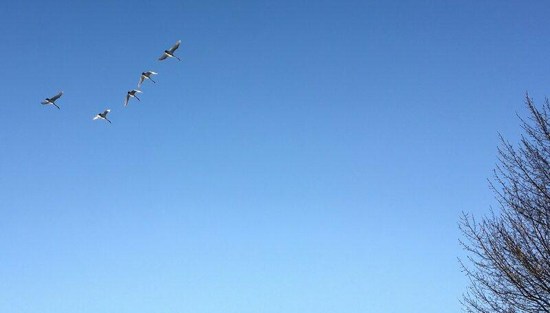 Trumpeter Swans_02.jpg